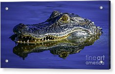 Acrylic Print featuring the photograph Wetlands Gator Close-up by Tom Claud