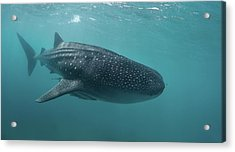 Whale Shark Acrylic Print by Nature, Underwater And Art Photos. Www.narchuk.com