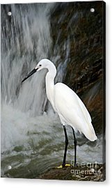 White Bird With Waterfall. Heron In The Acrylic Print by Ondrej Prosicky