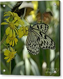 White Butterfly Acrylic Print by Elijah Knight