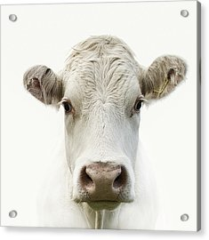 White Cow Acrylic Print by Jojo1 Photography