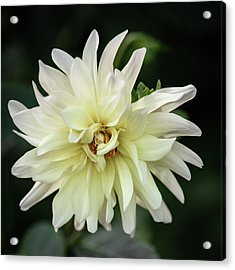 Acrylic Print featuring the photograph White Dahlia Beauty by Dale Kincaid
