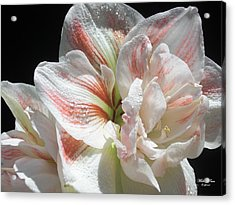 White Glory Acrylic Print