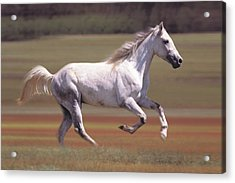 White Horse Running In Field Acrylic Print by Comstock