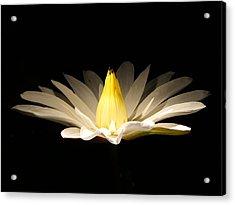 White Lily At Night Acrylic Print