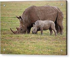 White Rhinocero Grazing Side By Side Acrylic Print
