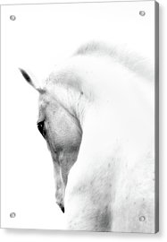 White Stallion Andalusian Horse Neck Acrylic Print