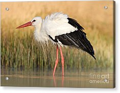 White Stork, Ciconia Ciconia, In The Acrylic Print
