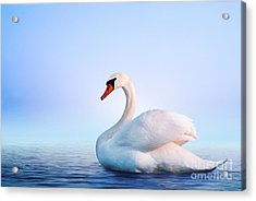 White Swan In The Foggy Lake At The Acrylic Print