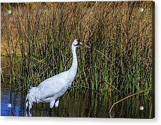 Whooping Crane In Pond Acrylic Print