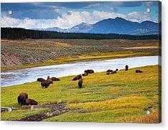Wild Bison Roam Free Beneath Mountains Acrylic Print
