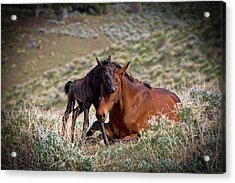 Wild Black New Born Foal And Mare Acrylic Print