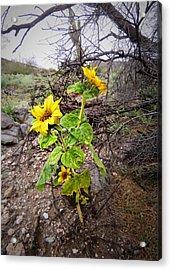 Wild Desert Sunflower Acrylic Print