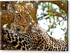 Wild Leopard Lying In Wait Atop A Tree Acrylic Print