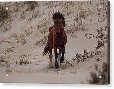 Wild Pony Acrylic Print