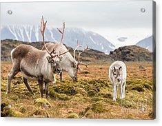 Wild Reindeer Family - Spitsbergen Acrylic Print