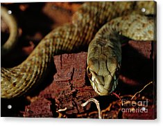 Wild Snake Malpolon Monspessulanus In A Tree Trunk Acrylic Print