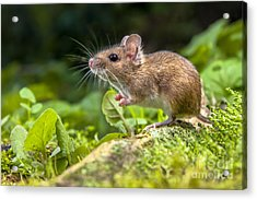 Wild Wood Mouse Resting On The Root Of Acrylic Print
