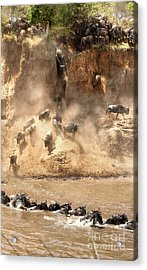 Wildebeest Jump From The Banks Of The Mara  Acrylic Print