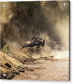 Wildebeest Leaps From The Bank Of The Mara River Acrylic Print