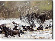 Wildebeests Are Crossing Mara River Acrylic Print
