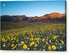 Wildflower Super Bloom In Spring, Death Acrylic Print