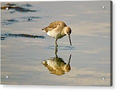 Willet Sees Its Reflection Acrylic Print