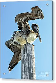 Wings Of A Pelican Acrylic Print