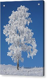 Winter Birch Tree Acrylic Print by Luvo