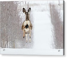 Winter Bounce Acrylic Print