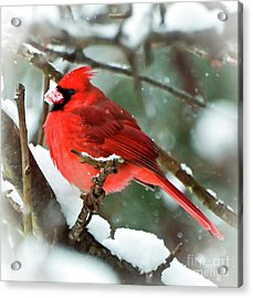 Winter Red Bird - Male Northern Cardinal With A Snow Beak Acrylic Print