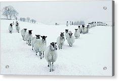 Winter Sheep V Formation Acrylic Print by Motorider