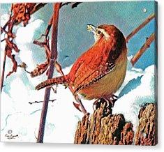 Wintering Carolina Wren Acrylic Print