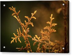 Winter's Hedges Acrylic Print