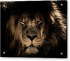 Wise Lion Acrylic Print
