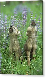 Wolf Puppies Howling In Meadow Acrylic Print by Design Pics / David Ponton