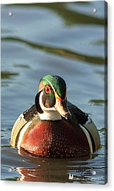 Wood Duck 3 Acrylic Print