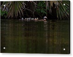 Wood Duck And Ducklings Acrylic Print