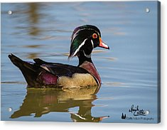 Wood Duck In Dallas Acrylic Print