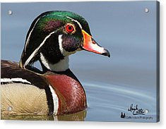 Wood Duck Portrait Acrylic Print