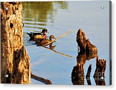 Acrylic Print featuring the photograph Wood Ducks by Debbie Stahre