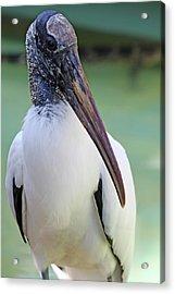 Wood Stork 40312 Acrylic Print