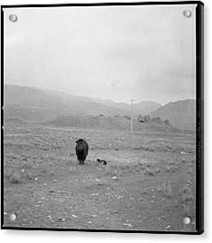 Yak In Grassland Acrylic Print by Oliver Rockwell