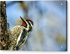 Yellow Bellied Sapsucker Acrylic Print by By Ken Ilio
