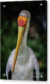 Yellow Billed Storks Acrylic Print