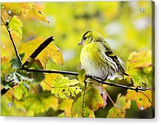 Acrylic Print featuring the photograph Yellow Bird by Top Wallpapers
