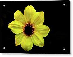 Yellow Dahlia Acrylic Print