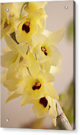 Yellow Dendrobium Nobile In Full Bloom Acrylic Print by Maria Mosolova