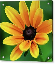 Yellow Flower Black Eyed Susan Acrylic Print