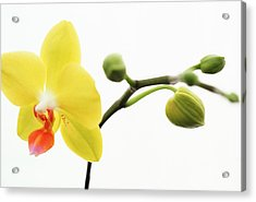 Yellow Flower With Buds Acrylic Print